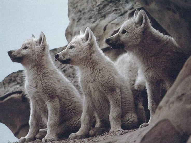 Image detail for -Wolves were once common throughout all of North America but were ...