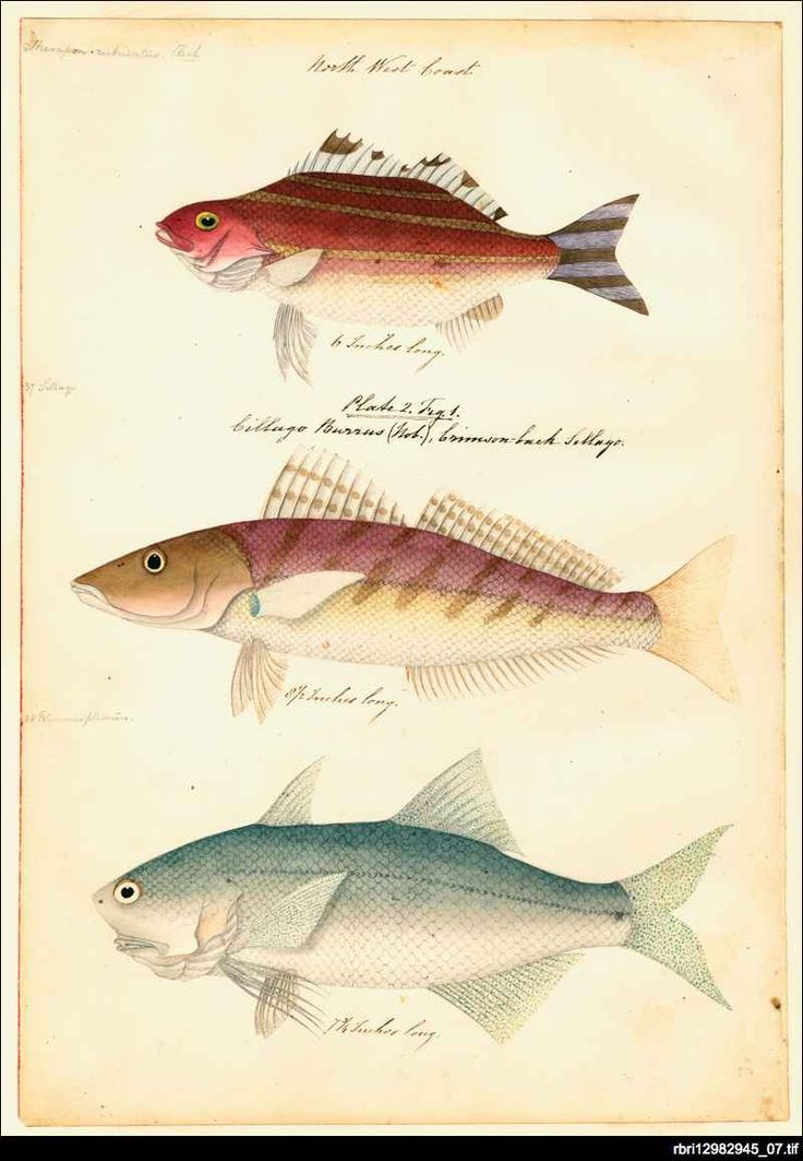 'North West Coast' one of the plates from 'Watercolours of fish from Australian waters' by James Barker Emery. Emery entered the Royal Navy in 1808 and had a colourful career that included two circumnavigations of the world surveying on the coast of east Africa - including work on the suppression of slavery - and some months as an unsanctioned 'governor' in Mombasa. He joined HMS Beagle in 1837, under Captain Wickham for the survey of the Australian coast.
