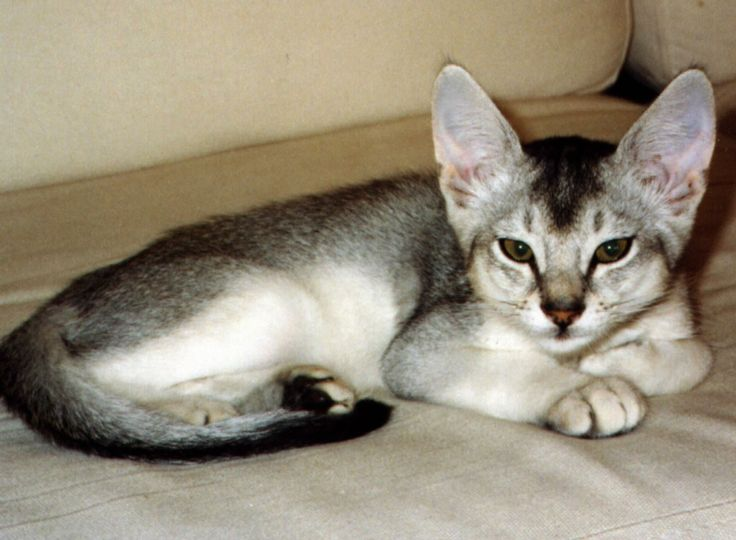 Abyssinian cats washington state