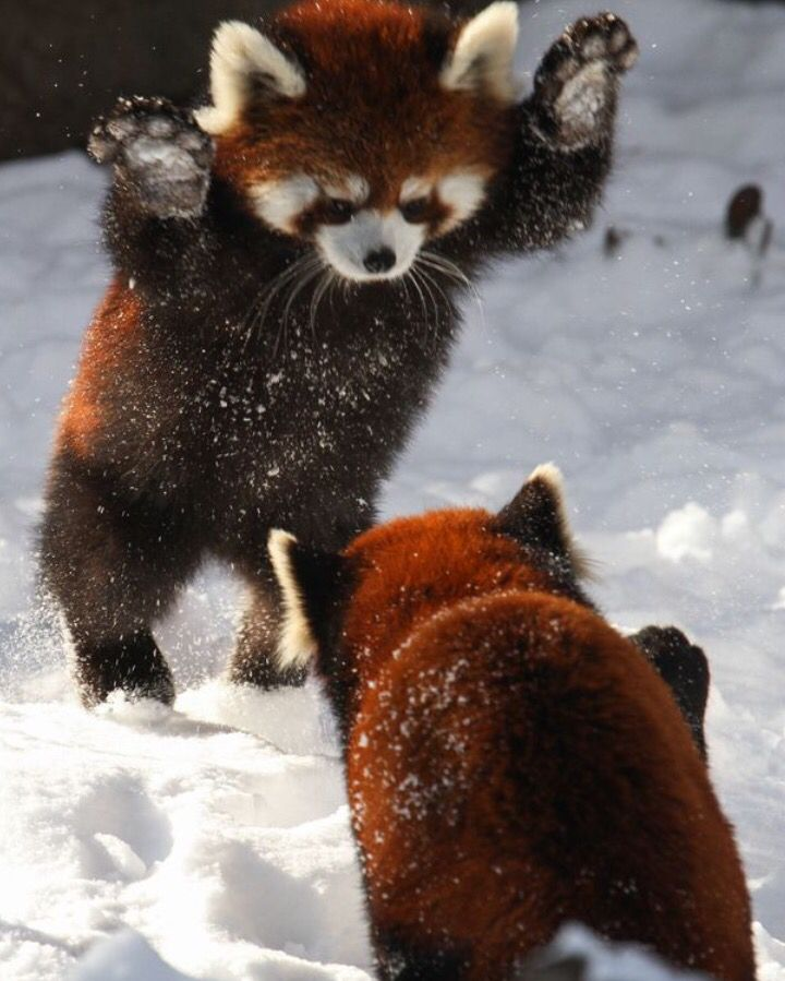 Kızıl Pandalar karda oynarlarken... :)