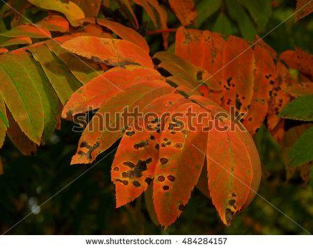 Texture autumn yellowing of leaves of treeshttp://www.shutterstock.com/g/kimbelij?rid=2712211