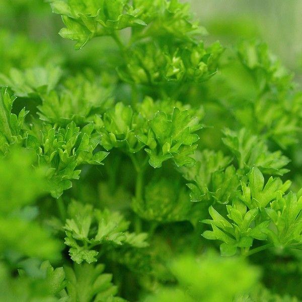 Mejores 115 im genes de hierbas aromaticas y medicinales for Hierbas aromaticas y medicinales
