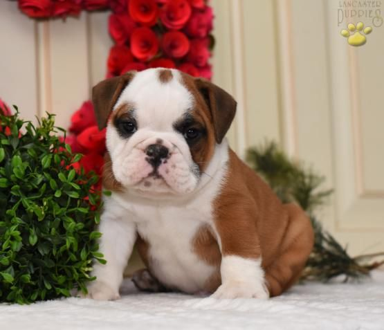Pin By Tammy Ward On Bulldog Puppies English Bulldog Puppies
