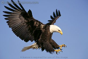 eagle attack - photo #40