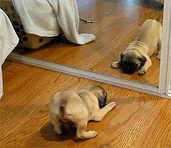 pugs.... <3