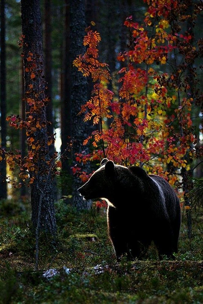 "AMERICAN BLACK BEAR are...found in wooded areas of North America and Mexico...averages 5 - 6 feet long...weighs 250 - 550 pounds...the world's most common bear species...come in many colors (black, brown, gray, silvery-blue, cream)...850,000 - 950,000 exist in the wild...several of the 16 subspecies are endangered including: Florida Black Bear (4,350), Kermode Spirit Bear (less than 1,200 with fewer than 200 cream), Louisiana BLack ""Teddy"" Bear (around 500)"