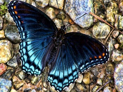 This Mariposa Azul (Blue) Butterfly was photographed in Columbia, South America.