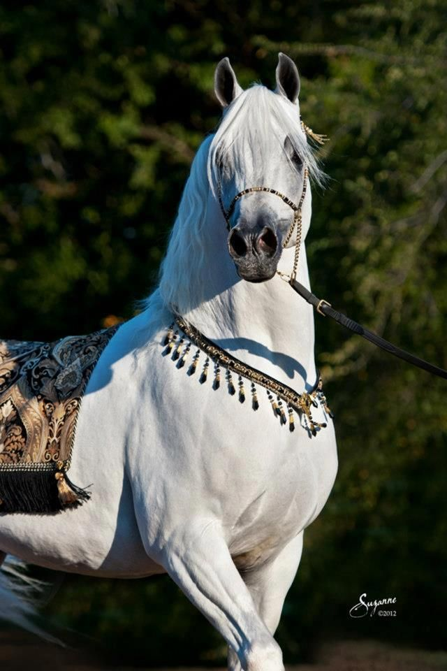 Arabia's Might is a stallion who is fierce, but gentle to the people he cares for