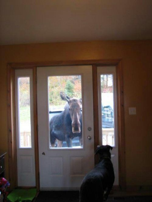 moose at door- ding dong special delivery
