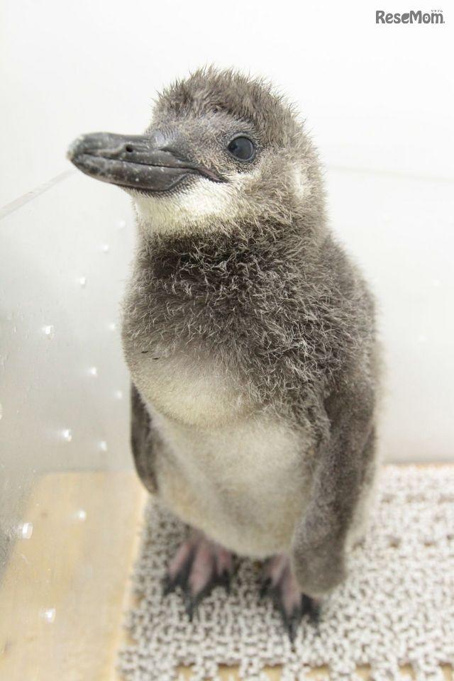 ペンギンの赤ちゃん「ふうりん」を応援、すみだ水族館で9/3デビュー