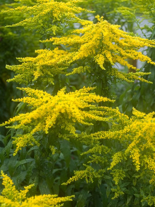 Solidago Peter Pan Goldenrod Perennials Plants Flowers Perennials
