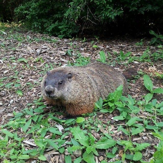 #YorkU's unofficial mascot! #animals #groundhog