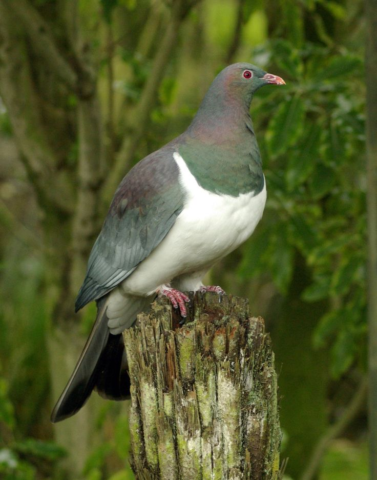 New Zealand pigeon or kererū (Hemiphaga novaeseelandiae)