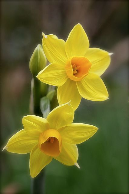 Early Spring | March | Flowers | Daffodils | Narcissus
