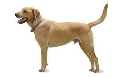 Goldador Dog Breed Information, Pictures, Characteristics