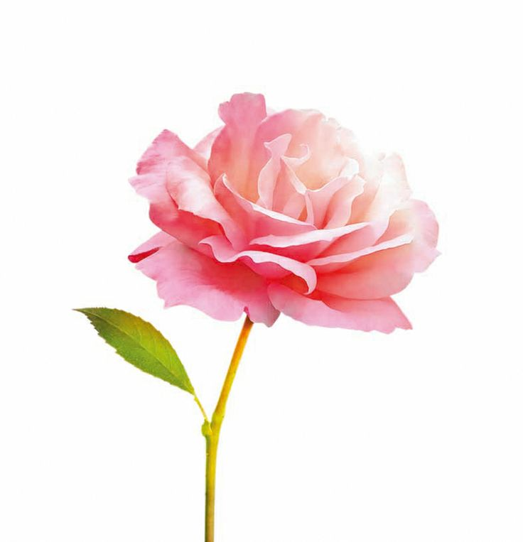 21.	Marvellous, captivating and romantic, Rose is the queen of flowers and represents beauty and perfection. Rose Essential Oil is the key ingredient in the DECLÉOR sensitive skins range as it immediately soothes, calms and softens the skin.
