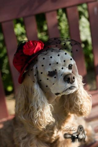 Lovely lady in her dotted hat - ASCOB cocker spaniel