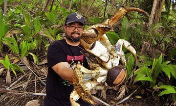 Holy Crab! Fearless Australian Poses With Massive Coconut Crab. This crab breaks coconuts with its pincers.   Sure let's pick it up... um no