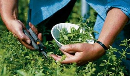 How to properly pick herbs