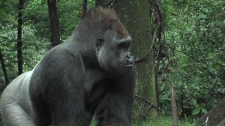 Bronx Zoo Gorillas Celebrate with Cupcakes!