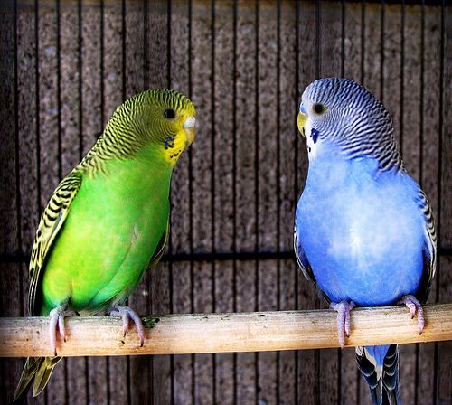 Some of the prettiest Budgies...We had birds for most of our teen years.  They were mom's favorite.