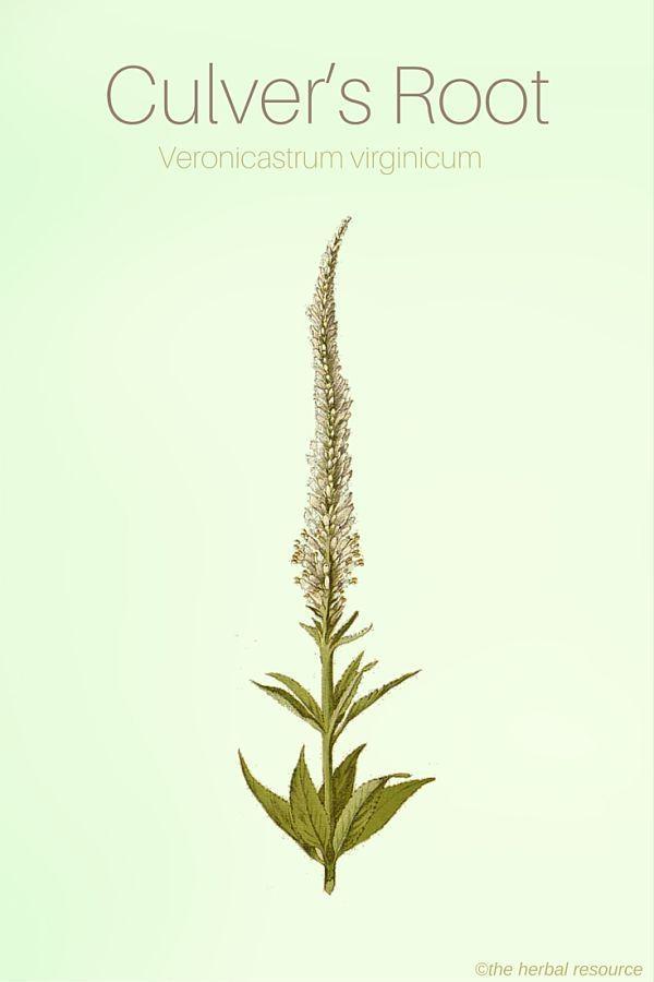 Culver's Root - Medicinal Herb