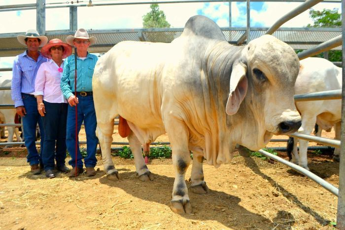 Record-breaking herd bull sale, 2016. Stock agents and producers are buzzing after an unregistered herd bull was sold for $96,000 at Charters Towers Big Country Brahman Sale.