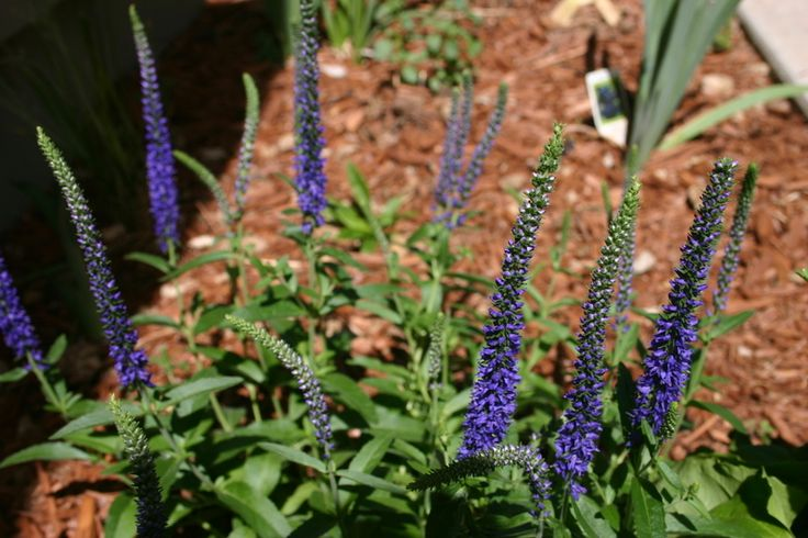Spike Speedwell 'Goodness Grows' (veronica spicata) - long blooming, for daylily companion