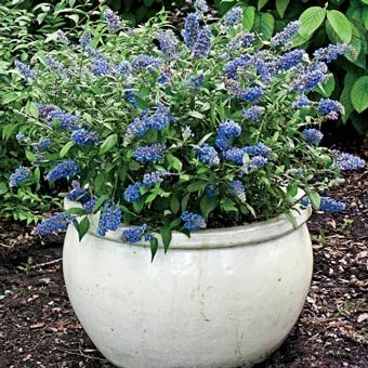 Blue Chip Dwarf Butterfly Bush -- partial shade to full sun. Praised for compact size and sturdiness; said to do well in pots and attracts butterflies.