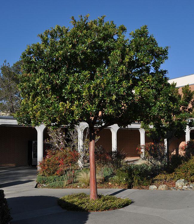 Arbutus Marina / Marina Madrone Tree