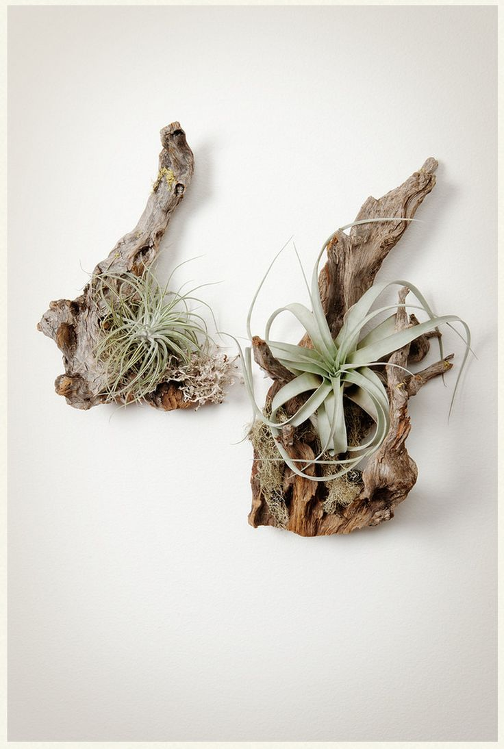 Sitka Spruce root with Air Plants from Pistils Nursery in Portland, Ore.