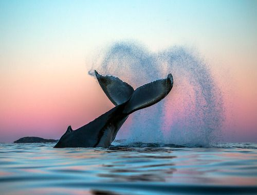 Magic Arctic Whales Photographs by Audun Rikarsen | Source