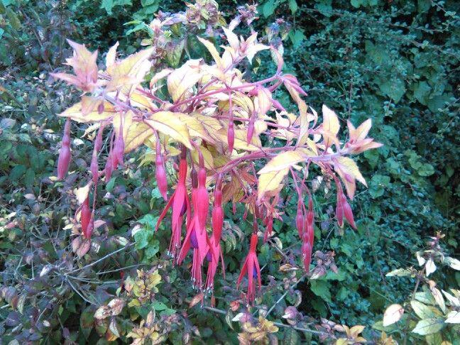 Fushia in the hedgerow