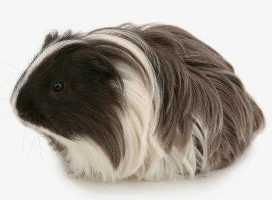 That awkward moment when a guinea pig has better hair than u...