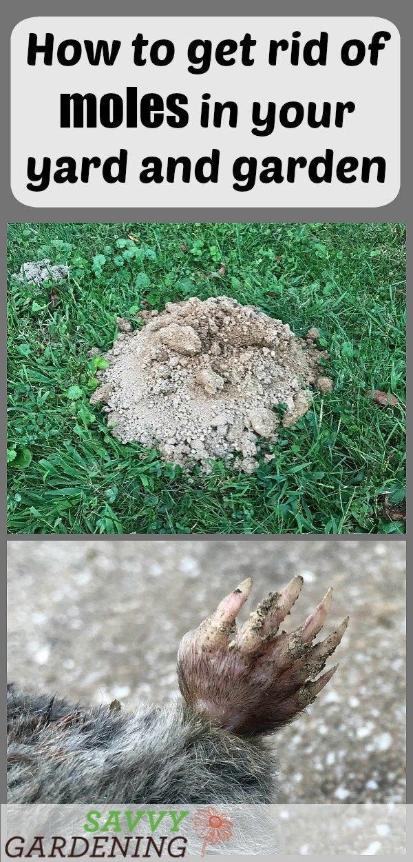 How To Get Rid Of Moles In Your Yard And Garden With Images Garden Pests Garden Pest Control Lawn Pests
