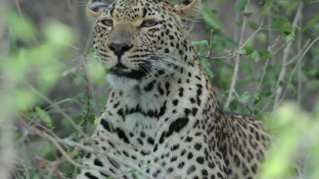 Cape Leopard Trust in South Africa  champions the cause of predator preservation – a lean yet dynamic, impactful organization that has implemented conservation strategies, research projects and tourism initiatives.