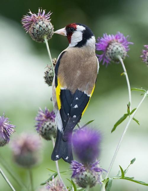 European Goldfinch ~ Photo by jessy