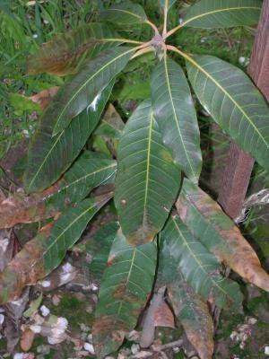 TORCEDURAS: El remedio es sencillo, hierves unas hojas de mango y las aplicas sobre la zona afectada. La verdad es que yo lo he probado y funciona, alivia el dolor y baja la hinchazón. El único problema es que donde vivo ahora es dificil encontrar hojas de mango.  Enviado por Juanan