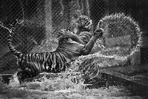 Dueling Tigers- Amazing Pictures From the National Geographic Traveler Photo Contest