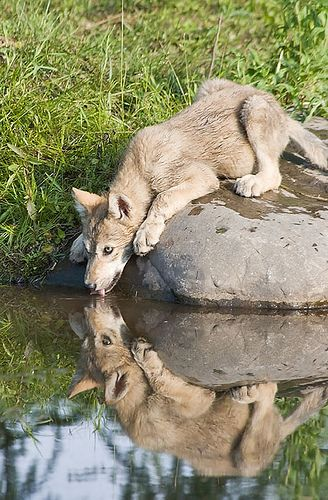 Young Wolf who may be taking a chance trying to get water.
