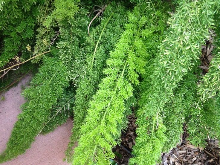 ASPARAGUS FERN FOXTAIL by Garden Answers Plant Id