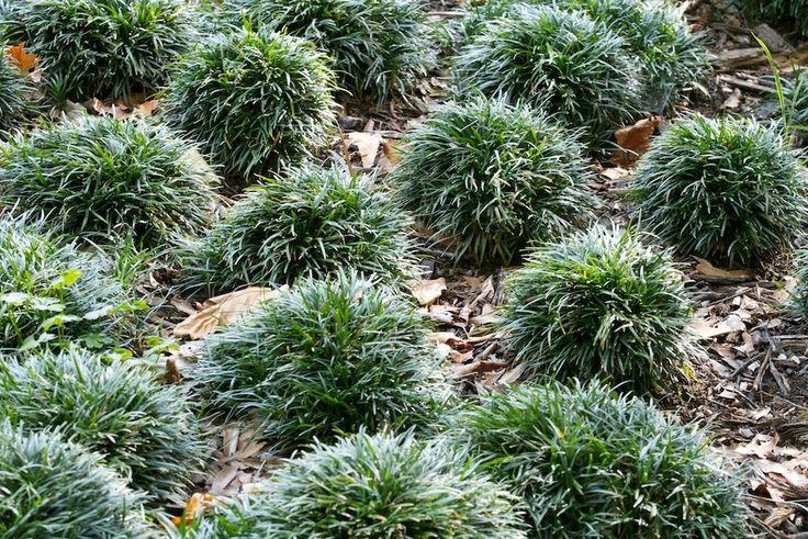 Ophiopogon japonicus 'Minor' - Zwerg-Schlangenbart | http://www.stauden-stade.de/shop-einzelartikel.cfm?id=1861 | http://www.pflanzenversand-gaissmayer.de/article_detail,Miniaturpflanzen-Ophiopogon+japonicus+Minor+-+Zwerg-Schlangenbart,026fac1880cddab6bc9803a9dd25b1ed,18470AED098A48CCA867524B002C2ED2,de.html
