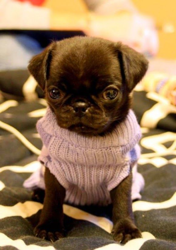Beautiful Chocolate Brown Adorable Dog - 82a965533ecb89631a65ba77a0906000--purple-sweater-dog-corner  Pictures_926110  .jpg