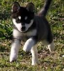 Alaskan Klee Kai - this is the type of dog I'm getting next for sure!!