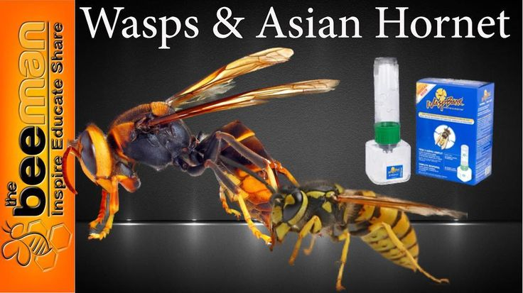 #bee #bees #beekeeper #beekeeping #wasps #asainhornet DIYwasp and Asian Hornet trap on our YouTube channel see our profile for link