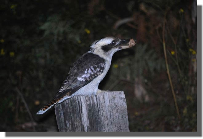 An Australian Kookaburra - our laughing bird has an incredible thick and hard beak for killing snakes and lizards