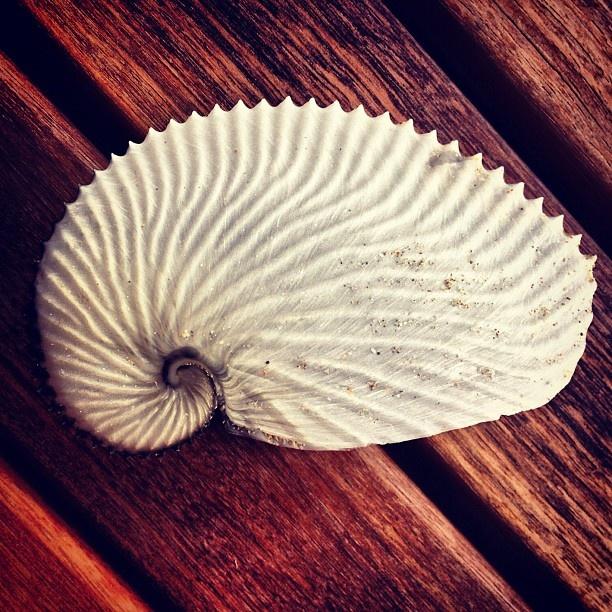Paper nautilus shell  ...