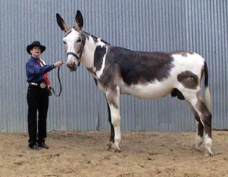 mammoth mule | Donkeys | Pinterest | Sweet love, Jack o ...