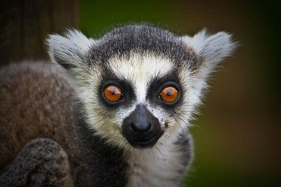 Dropbox - lemur.jpg