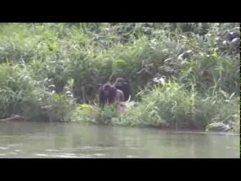 Wild Gorillas Reunited With Little Girl Recognize Her as an Adult (WATCH) - The Good News Network